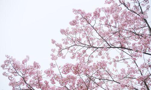 満開の八重紅桜の写真