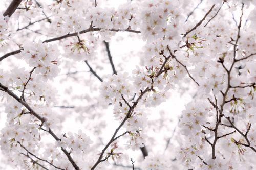 もう、桜の咲く季節の写真