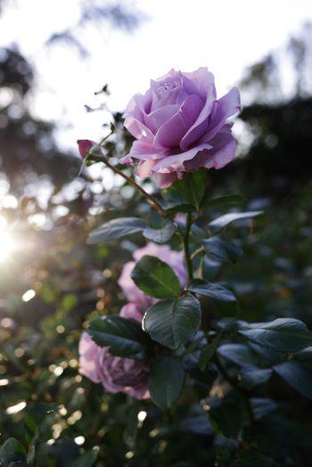 エモい紫の薔薇の写真