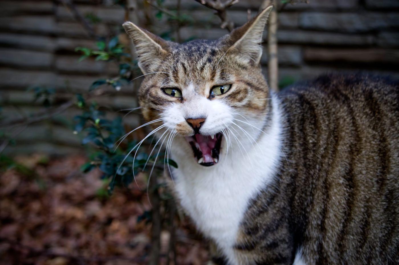 般若のような表情の猫の写真
