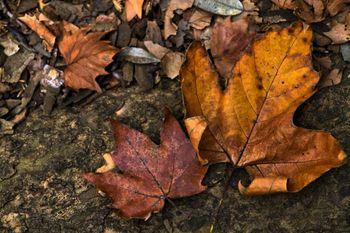 楓の落ち葉(枯葉)の写真