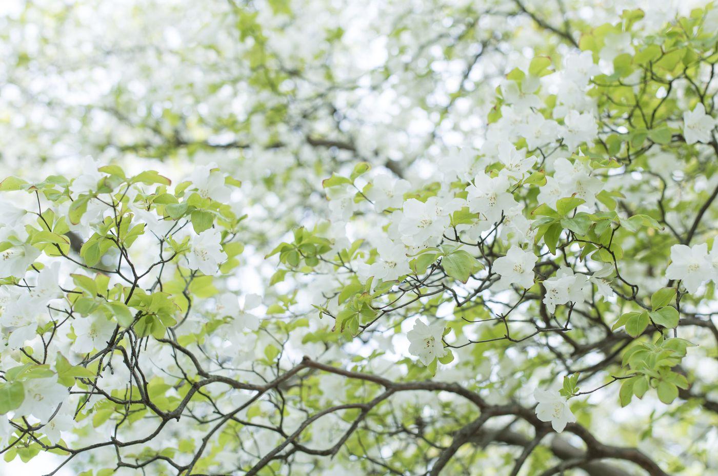 山に自生するゴヨウツツジ(五洋躑躅)の写真