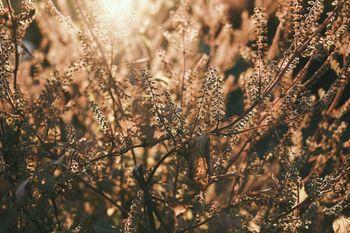 夕日に染まる枯れ草の写真