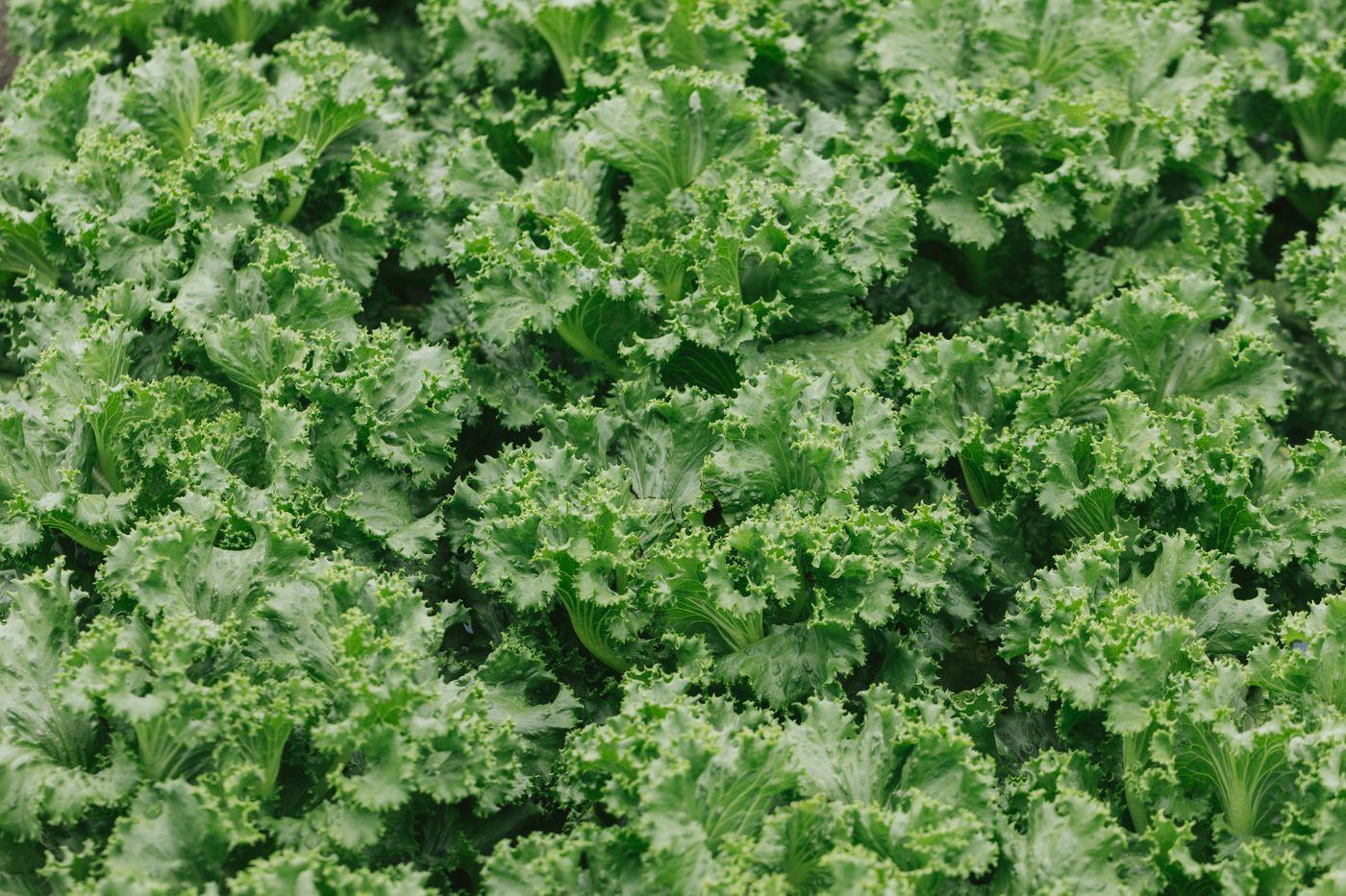 大刀洗の土壌で育てられたリーフレタス(サニーレタス)の写真