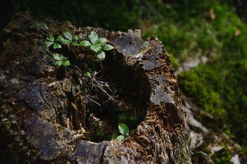 切り株から伸びる山野草(天狗岳)の写真