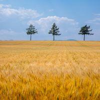 黄金色に染まる麦畑の写真