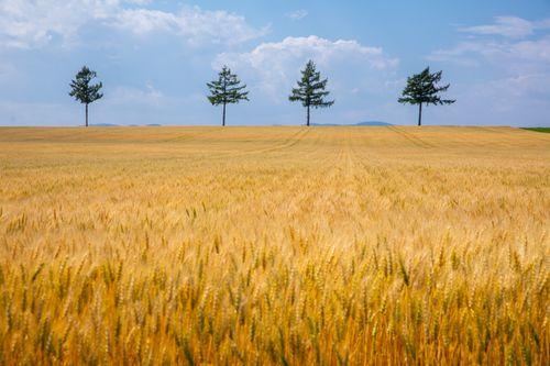 黄金色に染まる小麦畑