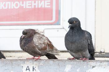 ものすごい殺気の鳩の写真