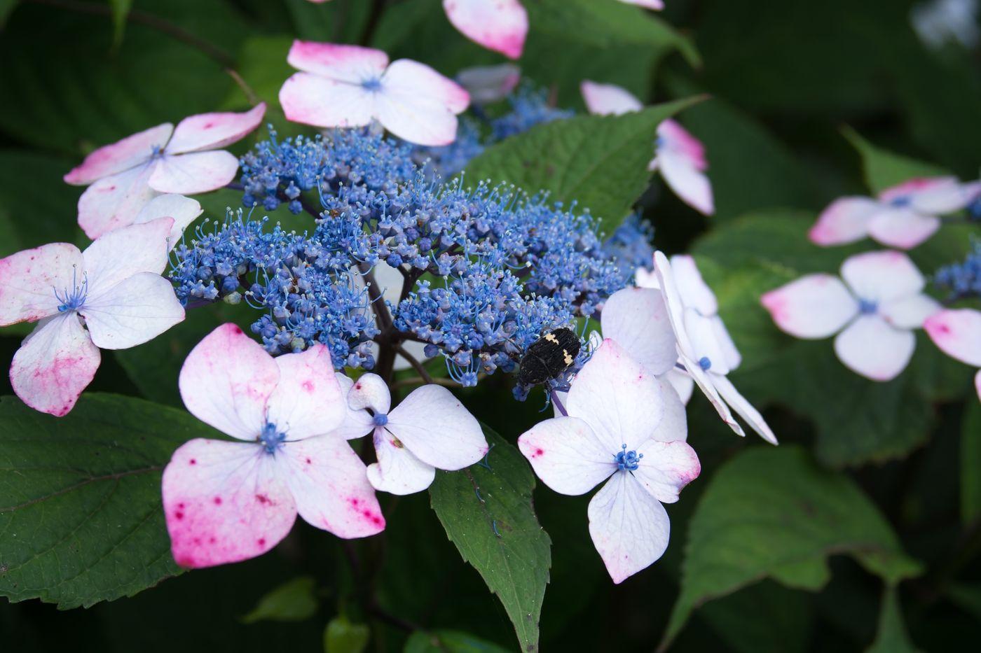 蜜を求める虫と紫陽花の写真