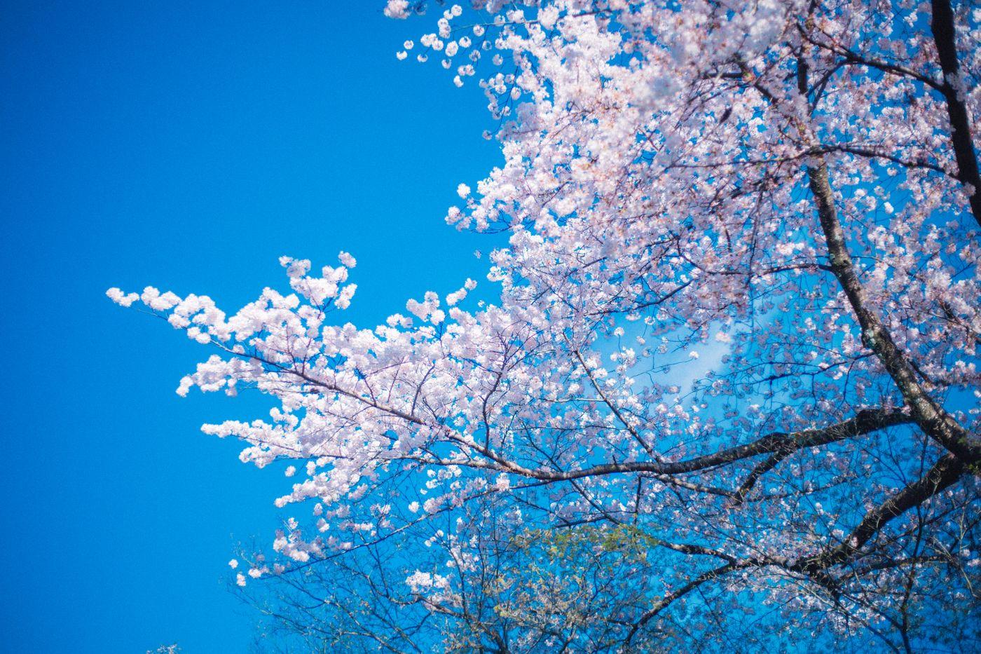 桜の季節の写真