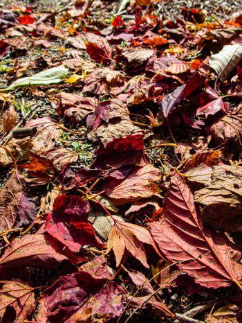 紅葉した落葉の写真