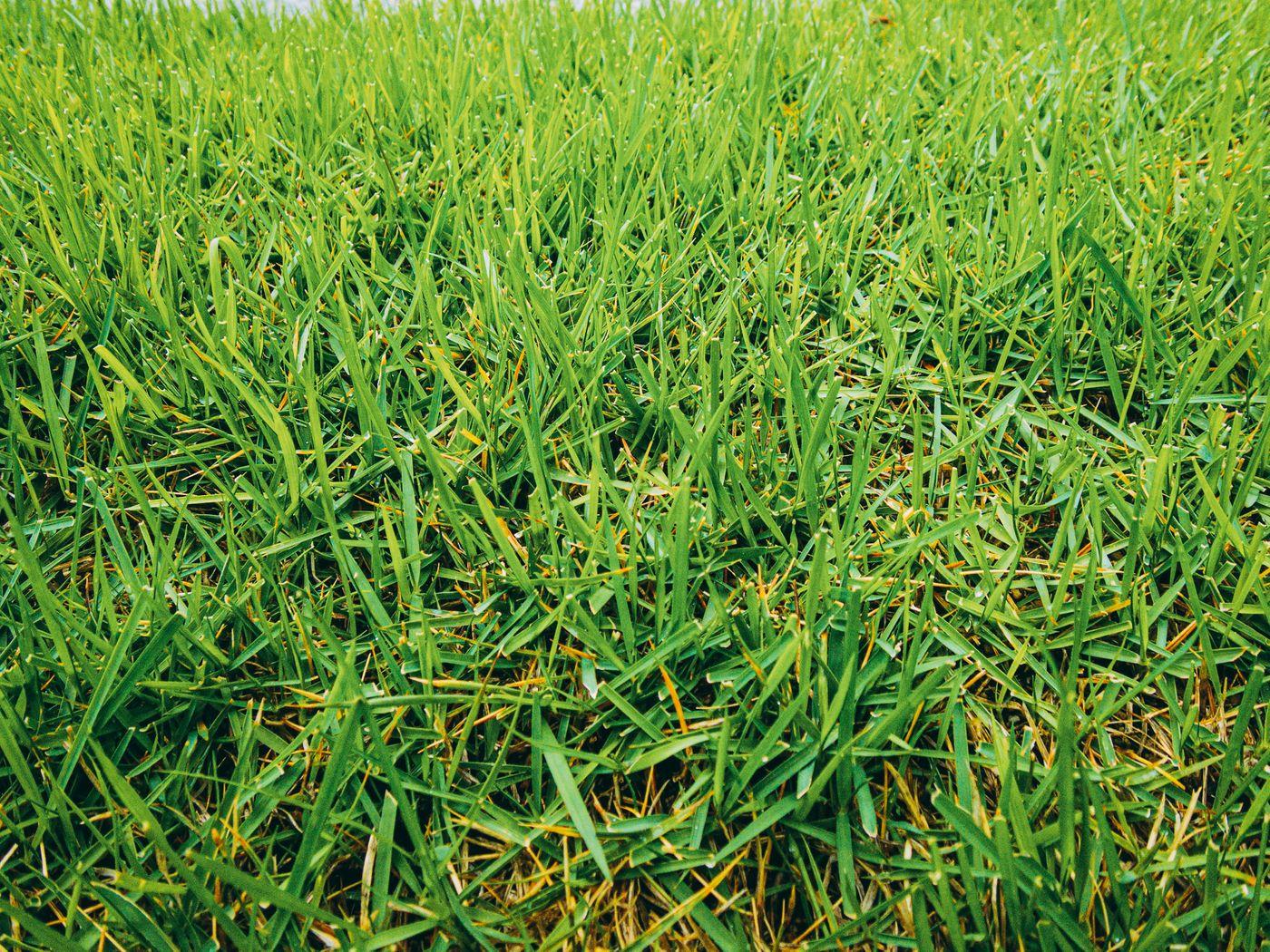 雨が降った後の芝生の写真