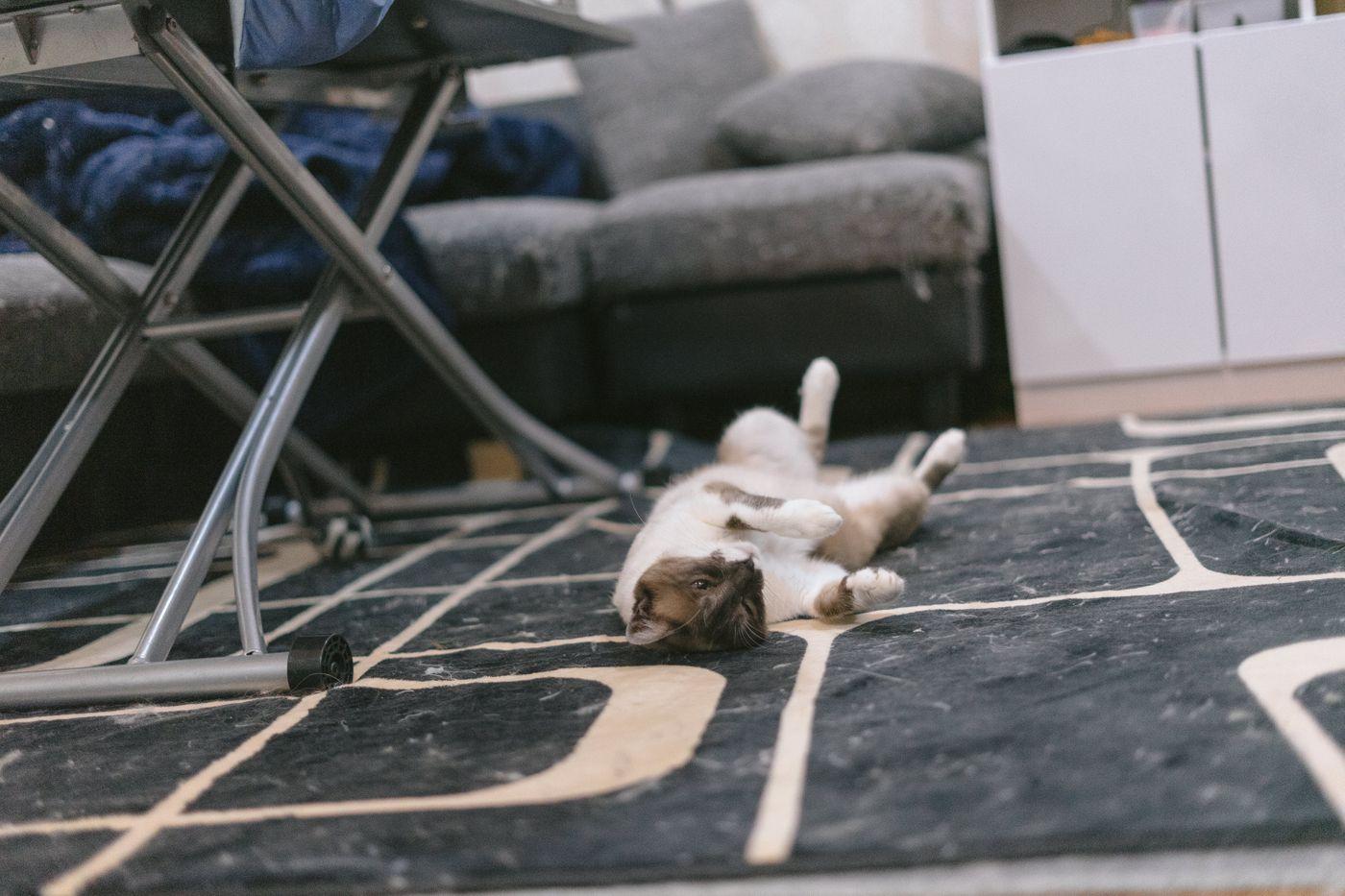 絨毯が猫の毛だらけの原因の写真