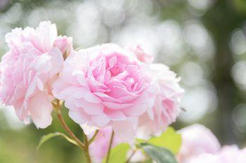 ふわふわ(薔薇)の写真
