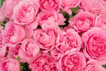 ピンクのばらのテクスチャの写真