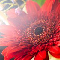 光が差し込む赤い花の写真