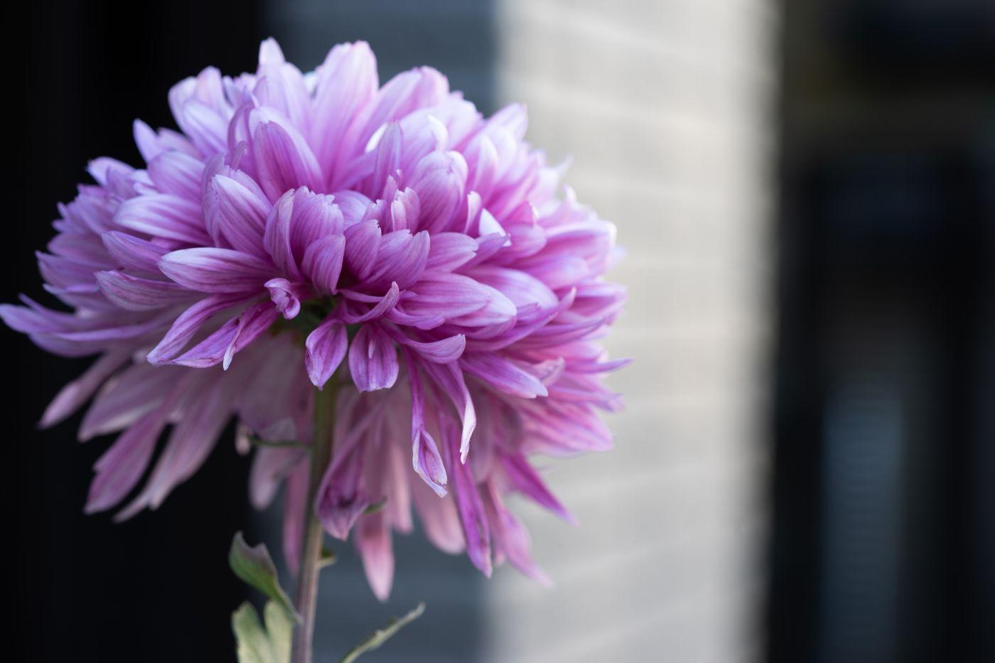 紫がかる菊の花の写真