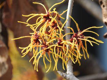 早春に咲く花(マンサク)の写真