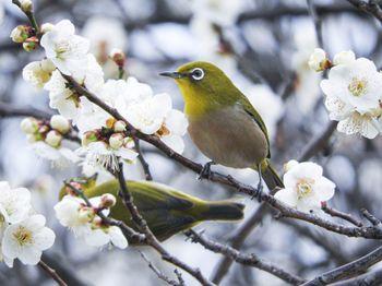 二羽のメジロと梅の花の写真