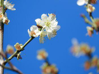 開花した白梅と青空の写真