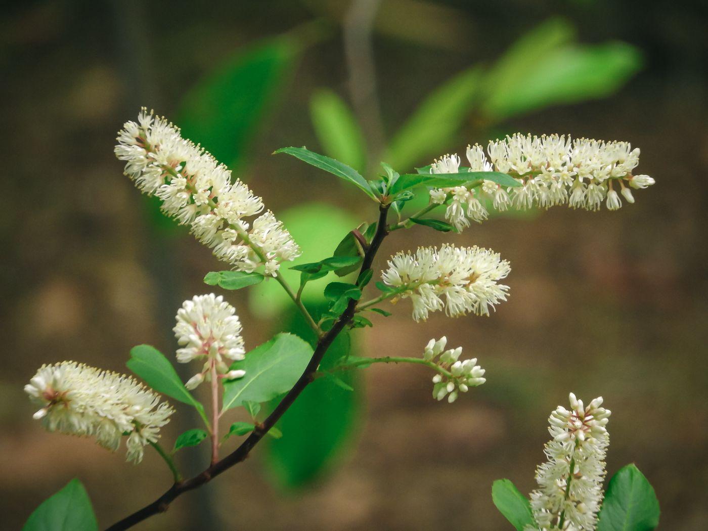 優雅に枝垂れるコバノズイナの花の写真