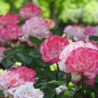 バラ(ストロベリーアイス)の写真