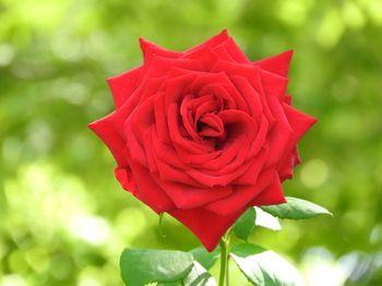 赤い薔薇の花の写真