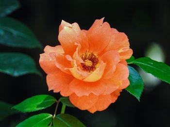オレンジ色の薔薇の写真