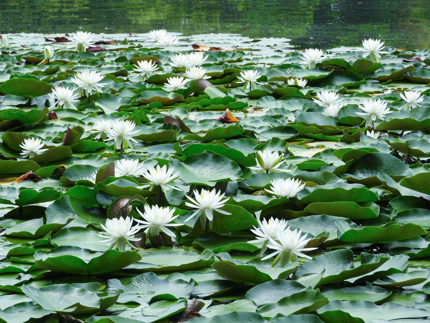 池に咲く睡蓮の写真