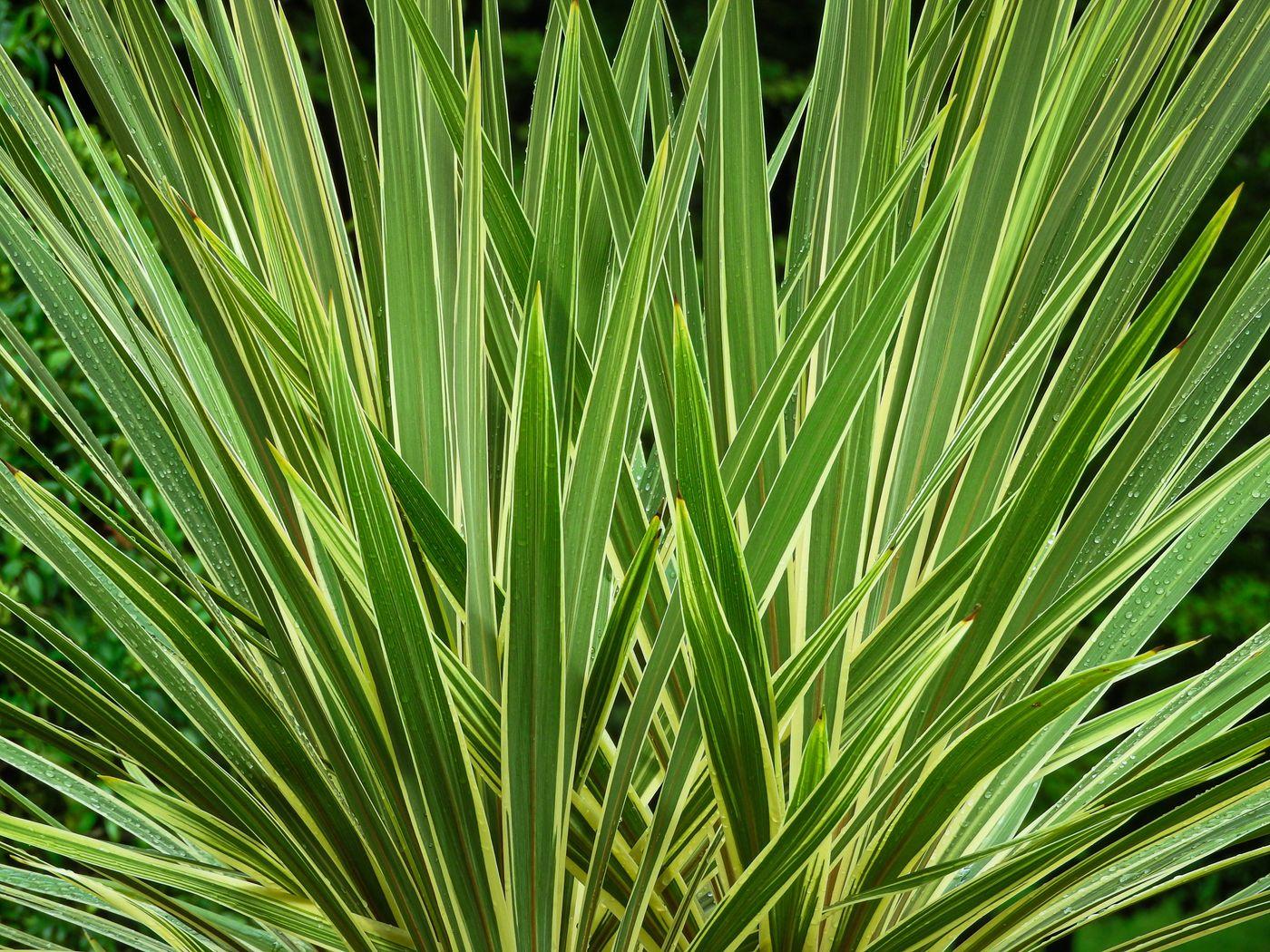 長い葉を広げるニューサイランの写真