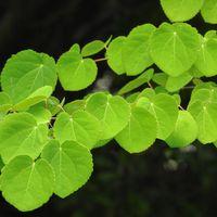 丸い形の桂の葉の写真