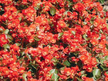 一面に咲く赤いベゴニアの写真