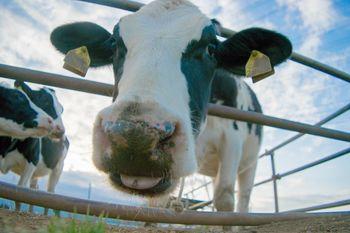 牛接写の写真