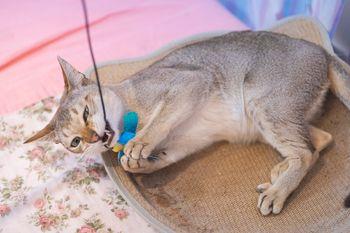 猫用のおもちゃでシンガプーラ爆釣の写真