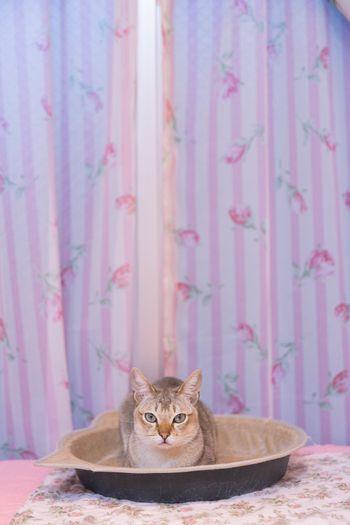 シンガプーラの猫ちゃんの写真