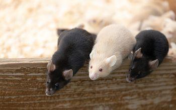 身を乗り出して餌をもらおうとするハツカネズミの写真