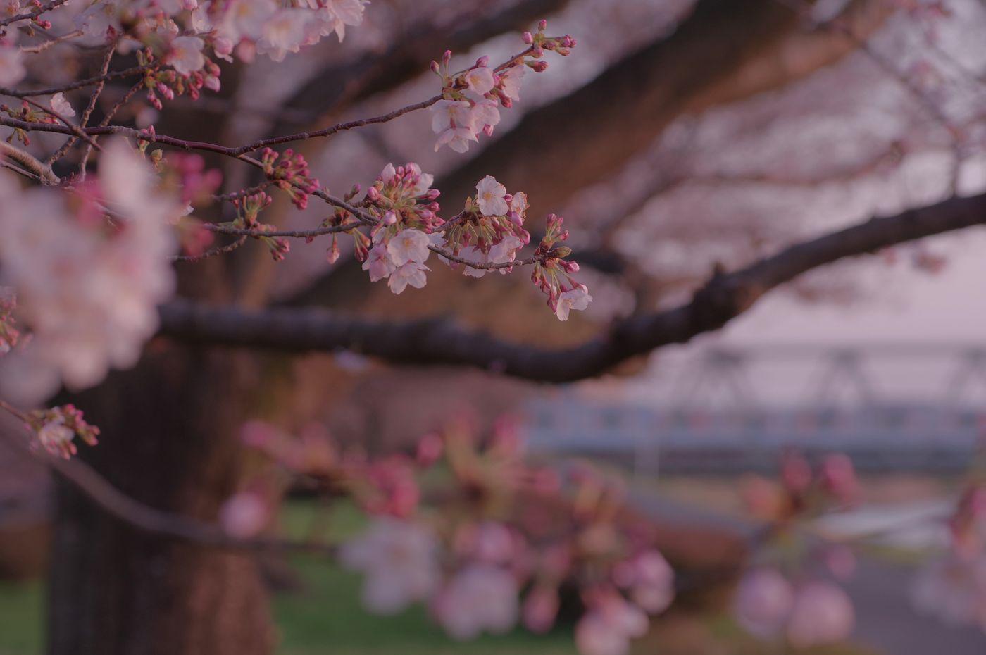 日没寸前の淡いピンクに染まる桜の写真