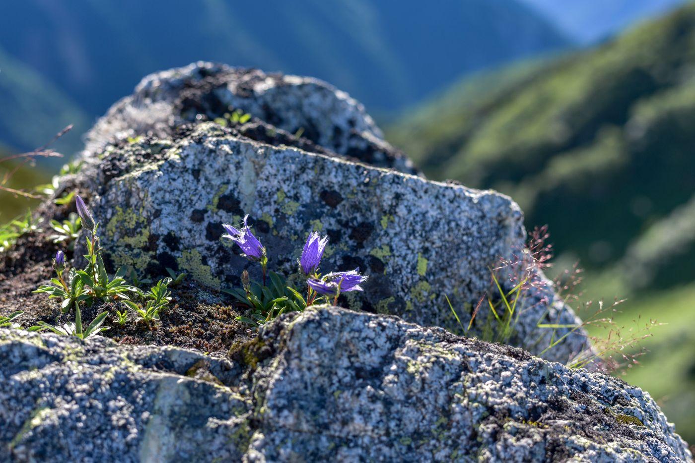 裏銀座登山道に咲く小さなチシマギキョウ(鷲羽岳)の写真