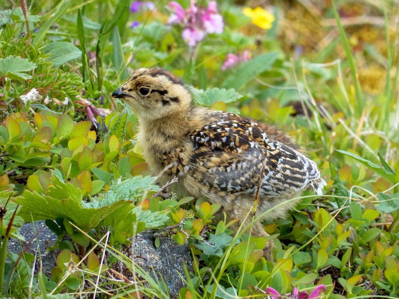 親鳥についていくライチョウの雛(仙丈ヶ岳)の写真