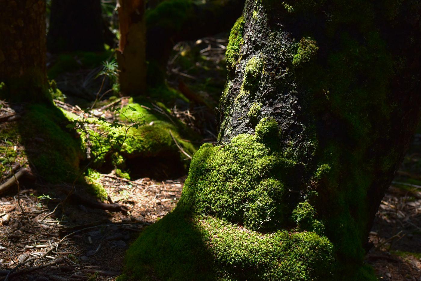 苔むした赤松に差し込む木漏れ日(雌阿寒岳)の写真