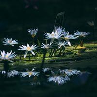 沢山咲いている暗闇の白睡蓮の写真