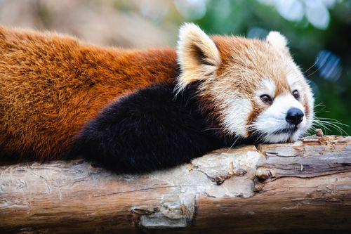 横になって考えてみた(レッサーパンダ)の写真