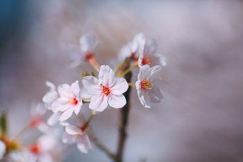 桜の花、春の到来の写真