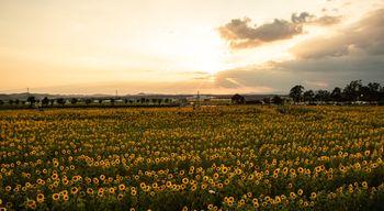 焼けた空と向日葵畑の写真