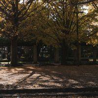 公園に並ぶベンチと黄葉したイチョウの写真