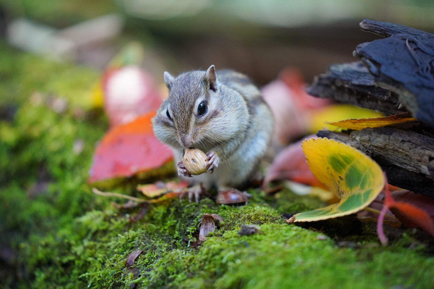 小さな木の実を握るシマリスの写真
