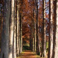 色付いたメタセコイアの並木道の写真