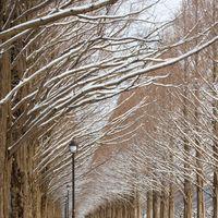 雪のメタセコイア並木(滋賀県高島市マキノ町)の写真